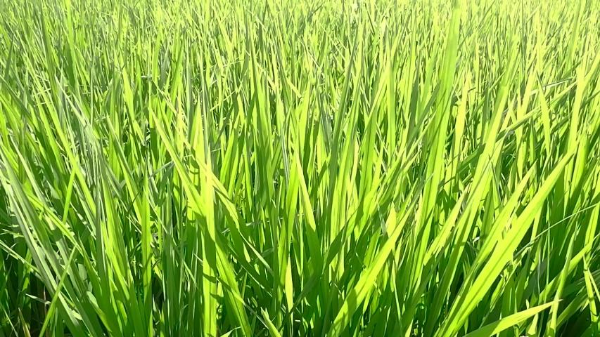 Green rice in the fields swaying in the wind | Shutterstock HD Video #1054843055