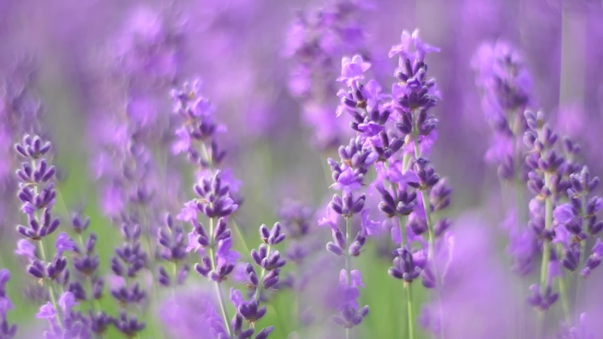 Lavender flower blooming scented fields in endless rows on sunset. Selective focus on Bushes of lavender purple aromatic flowers at lavender fields of the French Provence near Valensole. Royalty-Free Stock Footage #1054880708