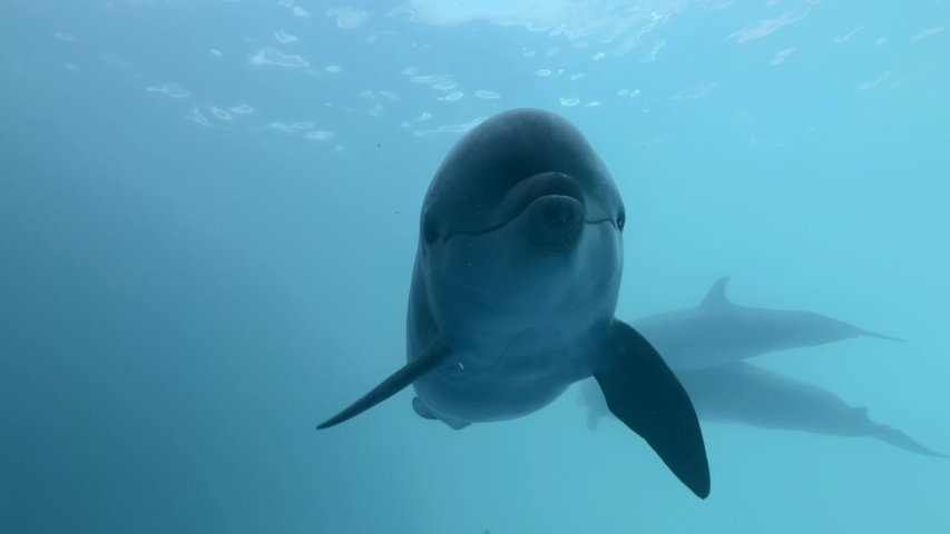 Selfie for dolphin. Extreme close-up of Bottlenose Dolphins swims in the blue water | Shutterstock HD Video #1054882193