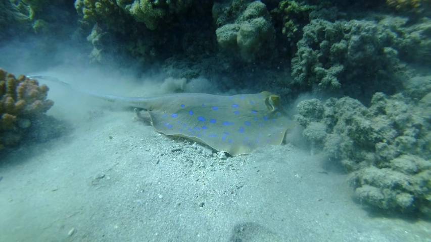 Blue-spotted Stingray (Taeniura lymma) actively digging sand under coral reef in searching for foods. Red sea, Egypt | Shutterstock HD Video #1054884110