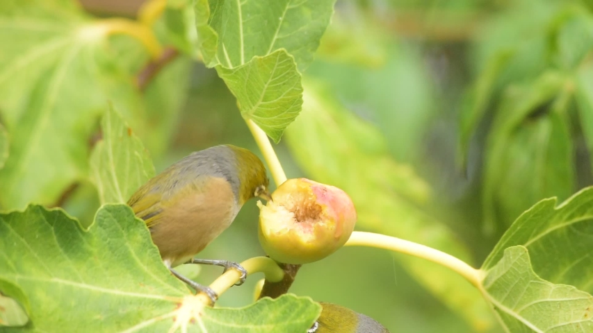 Two silver eye birds fighting for the fig fruit on a tree | Shutterstock HD Video #1054887530