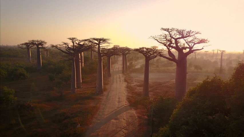 Madagascar, Avenue of the Baobabs. Baobabs Trees next to African Safari Road at Sunrise. 4k | Shutterstock HD Video #1054891205