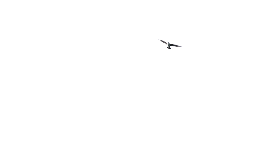 A lone seagull flaps vigorously then glides across a white sky   Shutterstock HD Video #1054897814
