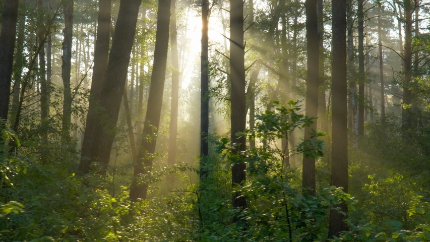 Walking through the morning forest. Sunny forest in the rays of the rising sun. Powerful trees and light haze. Magnificent sunrise in the forest, rays make their way through the branches of trees | Shutterstock HD Video #1054908134