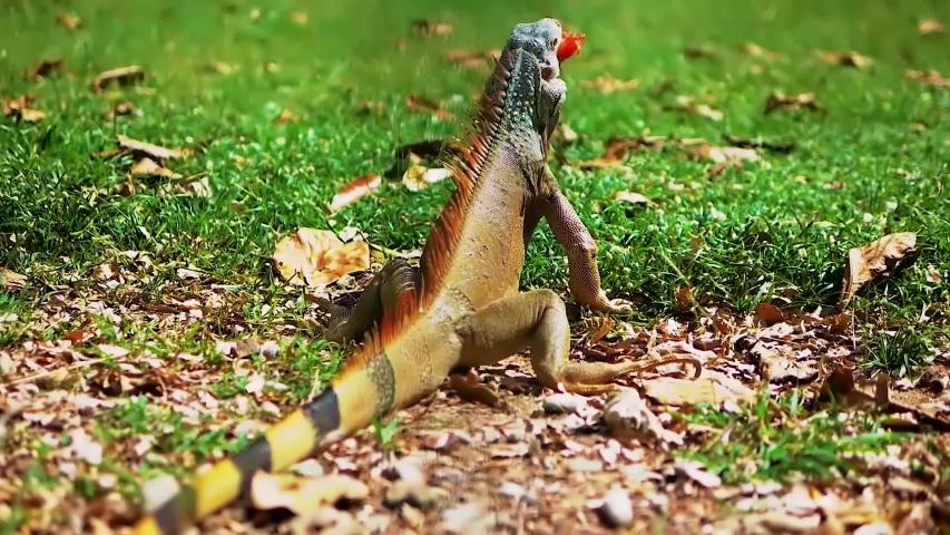 Iguana eats tomato,organic iguana in the park on the grass,green creature, tropical animal.