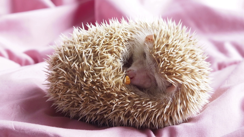 Dwarf hedgehog wakes up because he smells a grill worm and eats it. Hungry hedgehog.