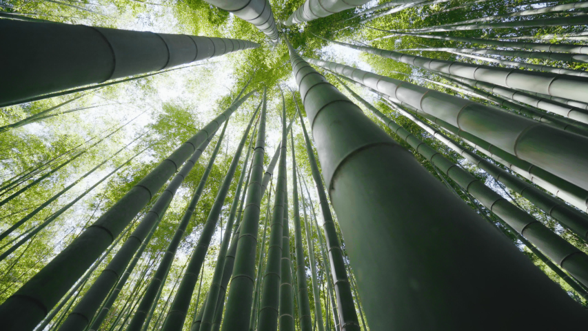 Bamboo forest in Kyoto, Japan. It is a view from the low angle of the bamboo forest. 2,000 Moso bamboo shows many faces depending on the angle of the sun. | Shutterstock HD Video #1054914974