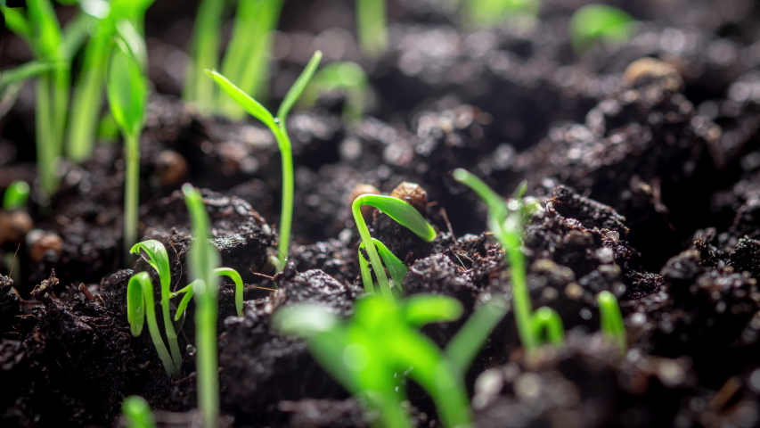 Time lapse. Cilantro seeds germinate in the ground. Microgreen, growing seedlings at home. Farm products, healthy nutrition. Organic food.