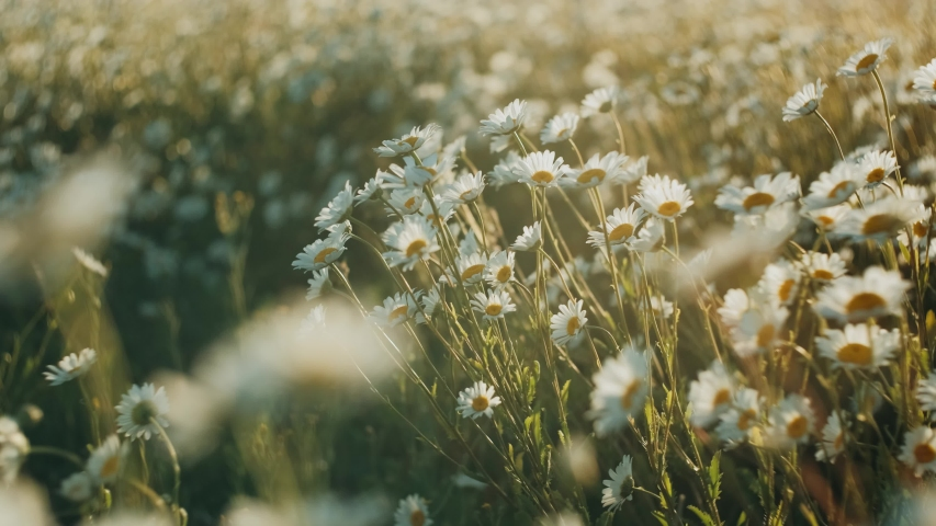 White daisy flowers field meadow in sunset lights. Field of white daisies in the wind swaying close up. Concept: nature, flowers, spring, biology, fauna, environment, ecosystem
