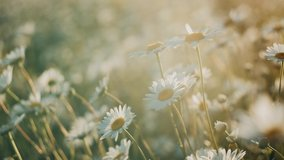 White daisy field. field of white daisies in the wind swaying close up. Concept: nature, flowers, spring, biology, fauna, environment, ecosystem