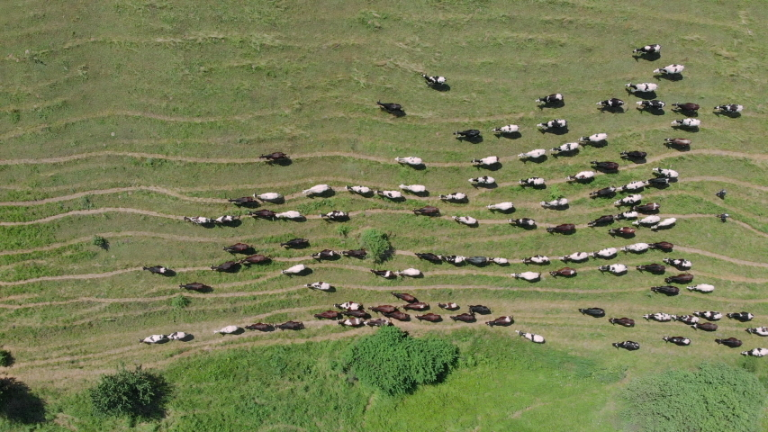 Many cows on green summer meadow, aerial drone view. Herd of cow grazing in fields. Aerial view of dairy cows herd on meadows. Drone top view of cows herd grazing on pasture field.