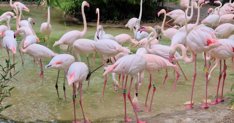 Big group of pink flamingos