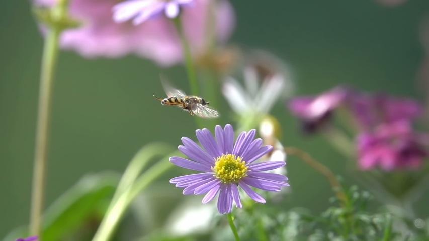 Bee,Hover fly, landing on a Purple flower,slow-motion | Shutterstock HD Video #1054982531