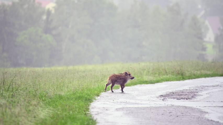 Young wild boar running across the road and looking for food. It is raining very hard, water is flowing on the road. In the background are green forests.
