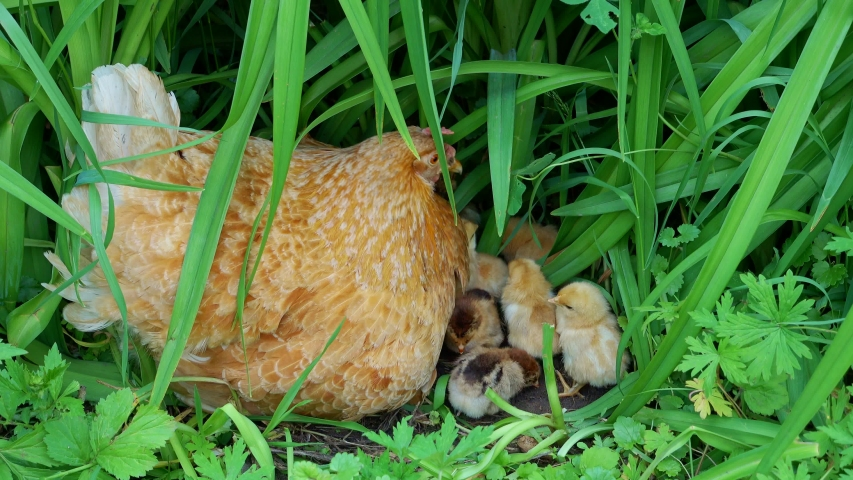 Free range hen and little chickens pecking in the green grass.