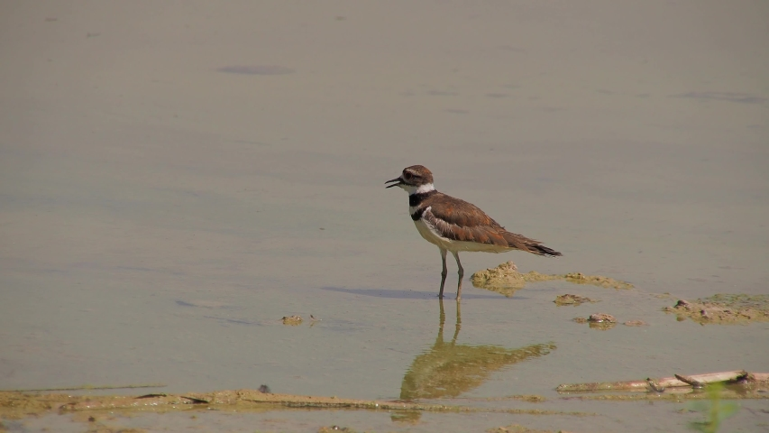 Close up of a cute Plover at Las Vegas, Nevada | Shutterstock HD Video #1055070197