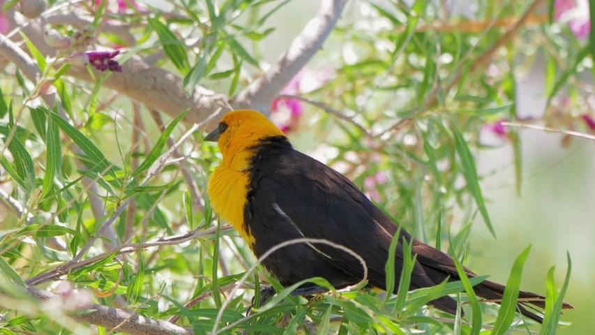 Close up of a cute Yellow-headed blackbird at Las Vegas, Nevada | Shutterstock HD Video #1055070203