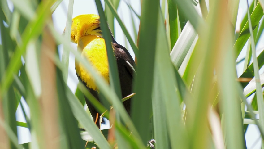 Close up of a cute Yellow-headed blackbird at Las Vegas, Nevada | Shutterstock HD Video #1055070212