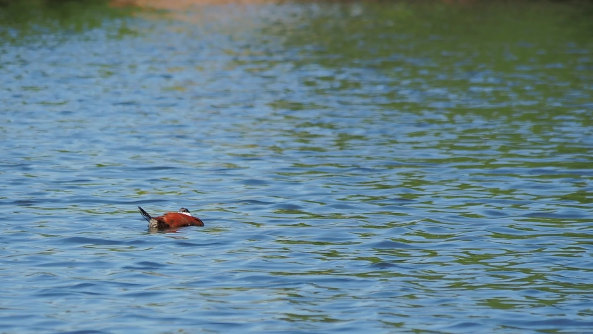 Close up shot of a Ruddy duck swimming in a pond at Las Vegas, Nevada | Shutterstock HD Video #1055070215