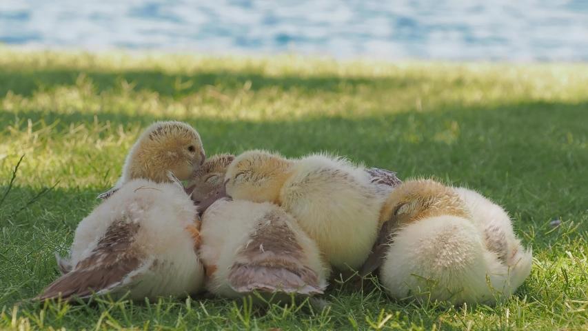 Many baby ducks sleeping on the ground at Las Vegas, Nevada | Shutterstock HD Video #1055070233