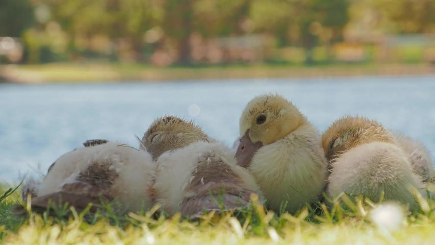 Many baby ducks sleeping on the ground at Las Vegas, Nevada | Shutterstock HD Video #1055070236