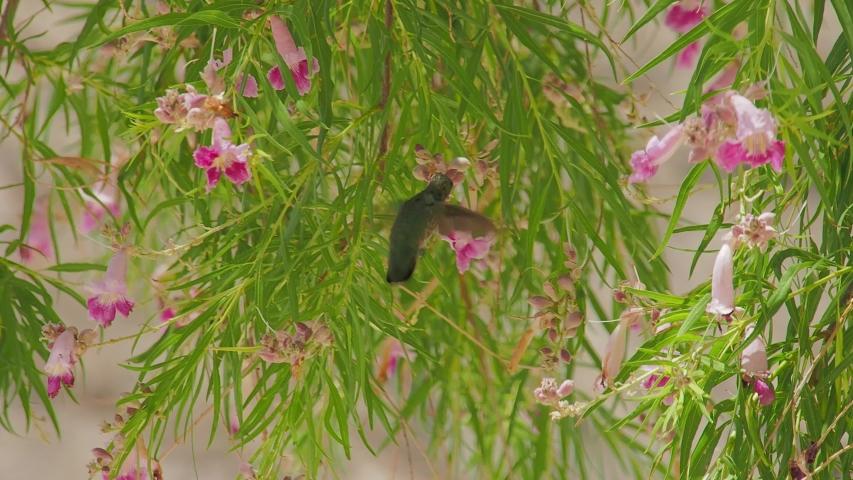 Close up shot of a hummingbird flying around at Las Vegas, Nevada | Shutterstock HD Video #1055070251