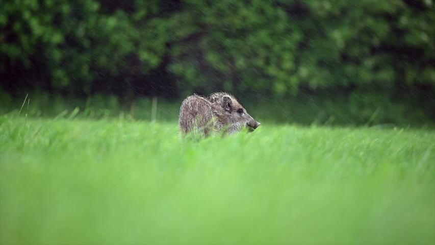 Young wild boar looking for food on a green field. Slow motion 120 fps. Very heavy rain, in the background is a forest, the pig is leaving.