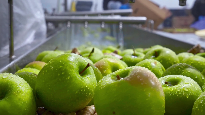 Green apples on conveyor belt, automation to squeeze organic juice. cold pressed juice bottling factory. Fruit packaging warehouse & food processing facility.