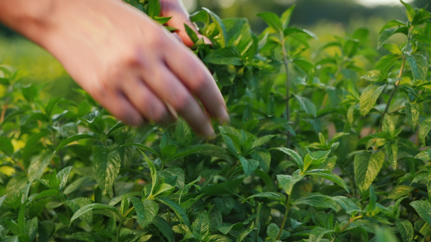 Farmer plucks mint leaves, cooking ingredients and soft drinks Royalty-Free Stock Footage #1055087417