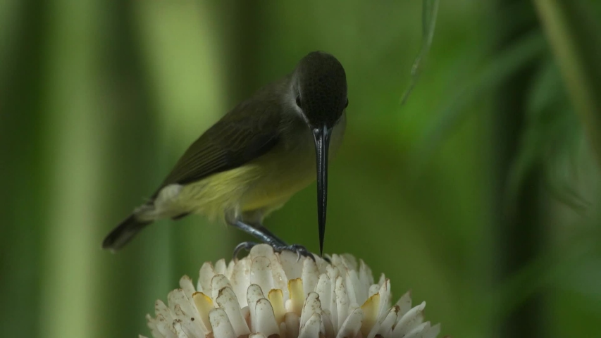 Close up, Long-billed Spiderhunter, Bird Thailand, Hala-Bala at Narathiwat in Thailand | Shutterstock HD Video #1055088062