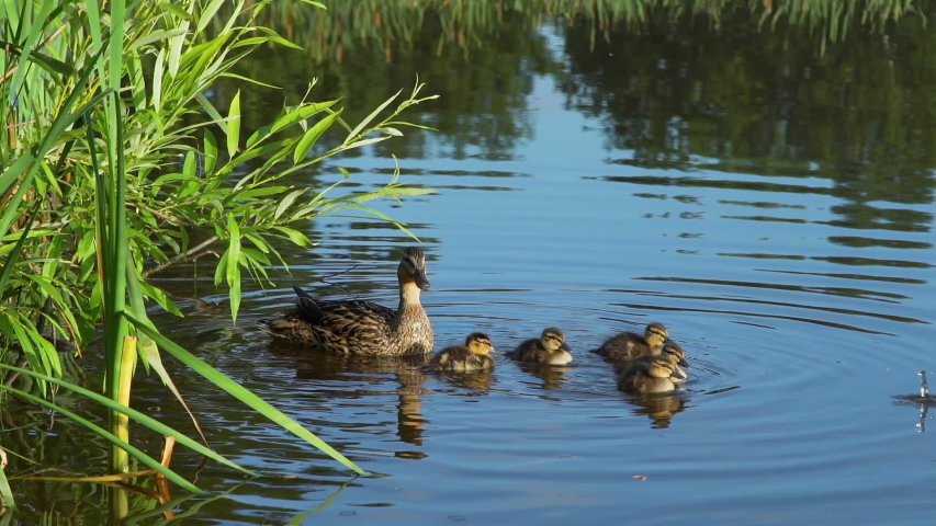 Mallard Duck with Ducklings Floating in the Pond in Summer Park. Slow Motion. Animals and Wildlife Concept