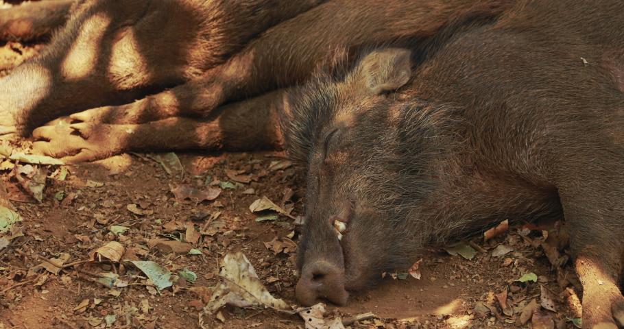 Goa, India. Indian Wild Boar Or Sus Scrofa, Also Known As The Wild Swine, Common Wild Pig Resting Sleeping In Shadow During Hot Day