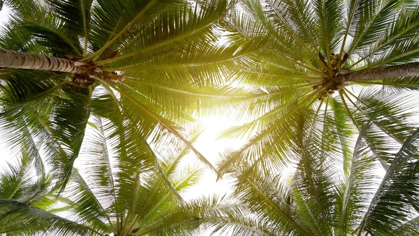 Coconut groves on the shores of the golden sun