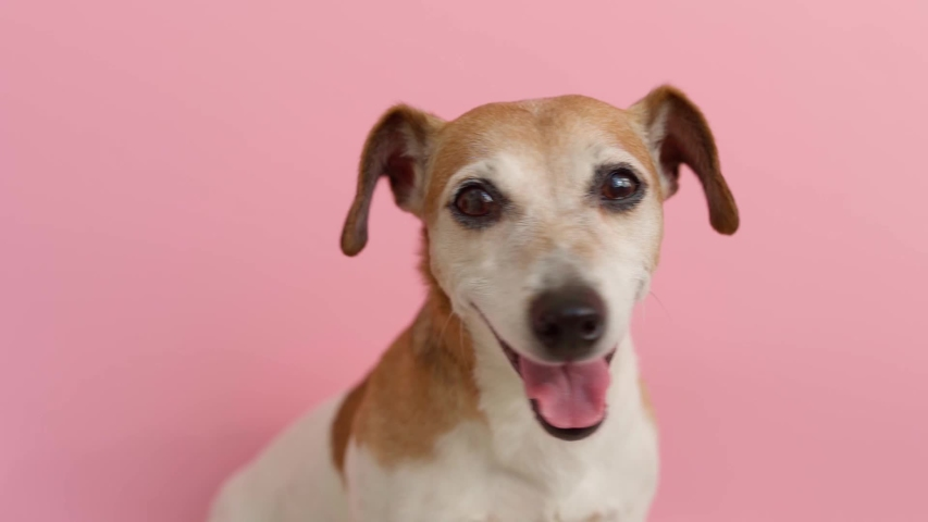 Adorable dog Jack Russell terrier face portrait on pink background. Looking to the camera. Cute funny smiling muzzle. Smart eyes look. shallow depth of field video footage. Soft natural light.  | Shutterstock HD Video #1055156495