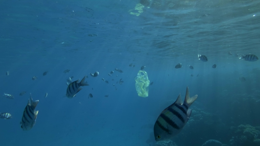 Yellow plastic bag slowly swims with school of tropical fish under surface in blue water in sunlight. Plastic pollution of ocean. School of fish Indo-Pacific sergeant or Sergeant major. 4K/50fps Royalty-Free Stock Footage #1055157614