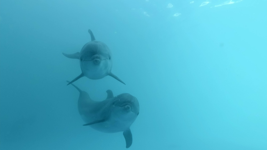 A pair of curious dolphins approaching the camera. Extreme close-up of Bottlenose Dolphins swims in the blue water | Shutterstock HD Video #1055157635