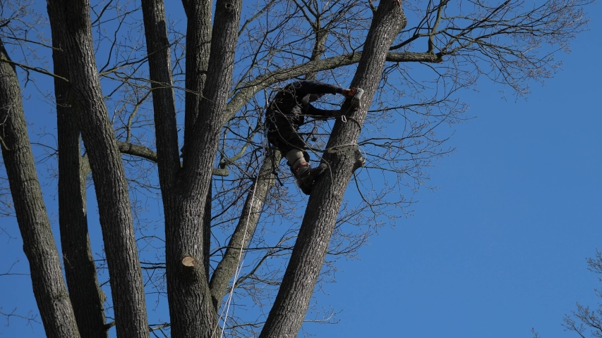 Worker with climbing equipment cuts large branches with a chainsaw in the crown of an old tree. Lumberjack cut large branch in oak crown  | Shutterstock HD Video #1055168633