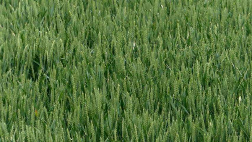 Ripening green wheat field being blown by the wind   Shutterstock HD Video #1055178248