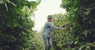 Farmer with smartphone walking in coffee plant. Online coffee analysis. Agronomist service over the internet. Fertilization or pests. Video Conference. Brazilian. 4K.