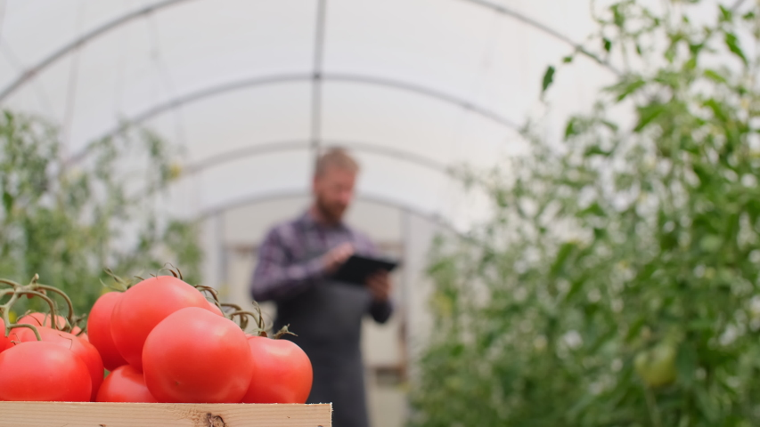 Farmer businessman, Growing tomatoes, Vegetable business, Greenhouse with tomatoes, Successful Farm Owner. Farmer worker controls the growth of tomatoes using a tablet.