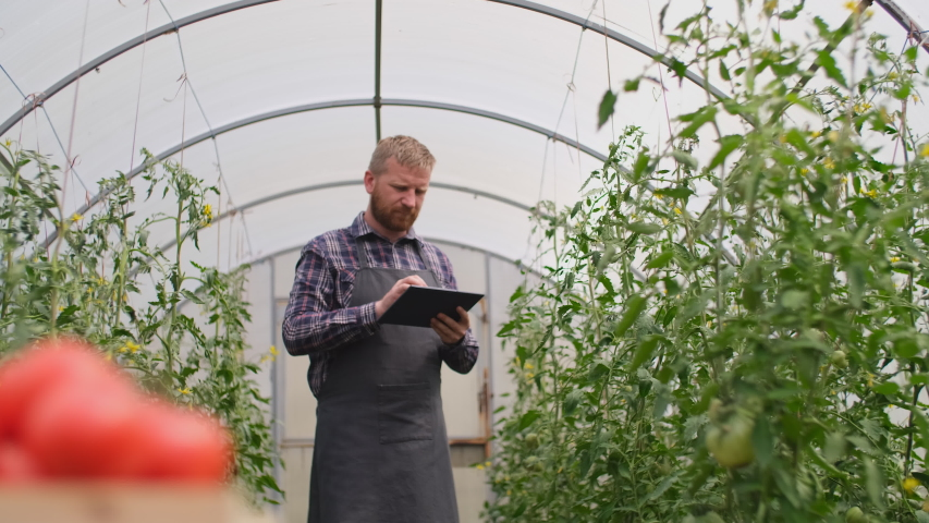 Farmer businessman, Growing tomatoes, Vegetable business, Greenhouse with tomatoes, Successful Farm Owner. Farmer worker controls the growth of tomatoes using a tablet computer. Box of Tomatoes