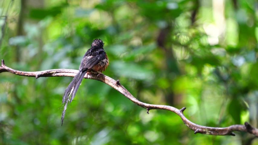 White-rumped shama bird on branch :Scientific name. Copsychus malabaricus.
