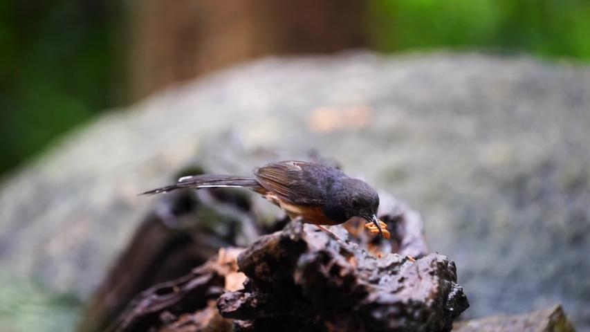 White-rumped shama bird on stump :Scientific name. Copsychus malabaricus.