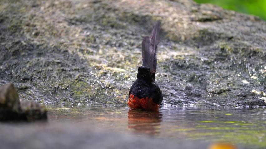 White-rumped shama bird in pond :Scientific name. Copsychus malabaricus.