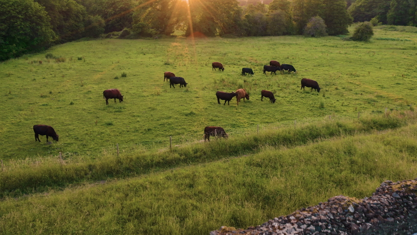 Aerial footage of livestock cattle cows in a field in England - Summer Sunset