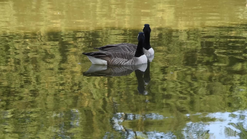 Two Canada geese swimming in the lake of Bois de Boulogne in Paris   Shutterstock HD Video #1055235926