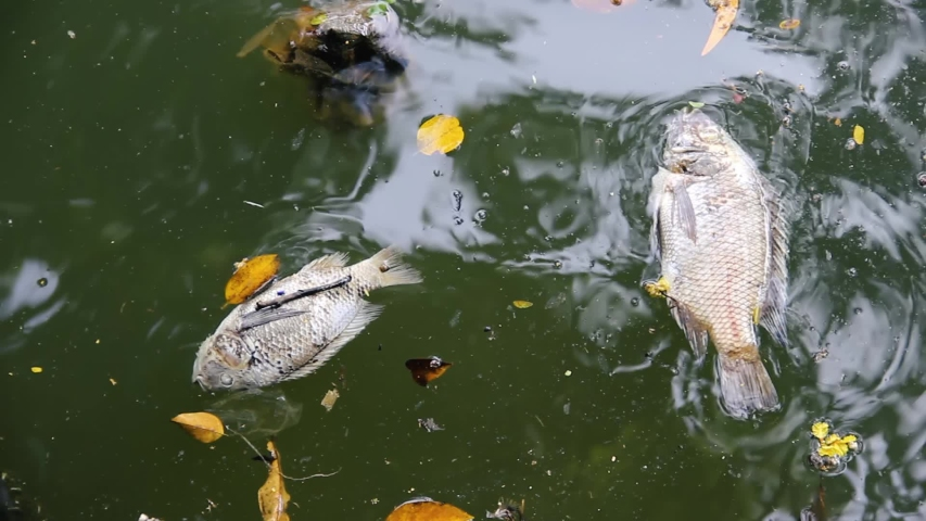 Dead fish on the shore of an Asian pond. St. Peter's fish (Nile Tilapia) - this is a very tenacious water animal and nevertheless died in dirty water, water pollution, anoxia | Shutterstock HD Video #1055236217