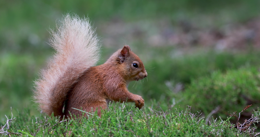 Red squirrel, Sciurus vulgaris, close view within heather/woodland landscape with white tail in Scotland, cairngorms national park. With tufted ears eating and searching for food.