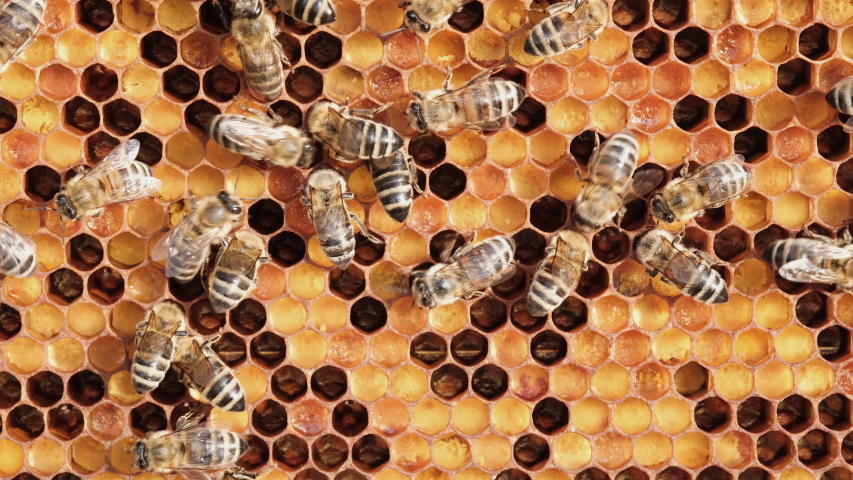 Honeycomb with colorful perga. Honeycomb with bee bread. Bees pack honeycomb with bee bread. Medicinal properties of bee bread. Apitherapy. Royalty-Free Stock Footage #1055261219