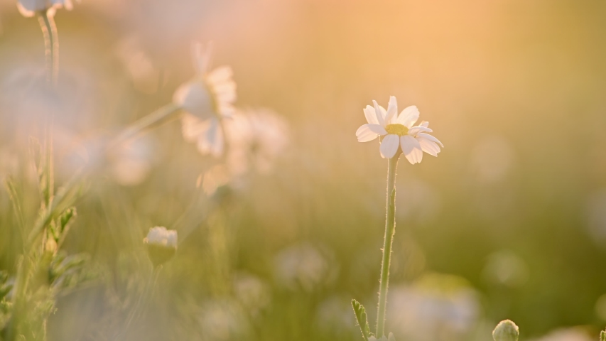 Chamomile flowers meadow at sunset backlight. Golden hour shot, shallow depth of field. Soft sunshine transparenting through leaves of plants. Single chamomile flower. in the focus. | Shutterstock HD Video #1055262740